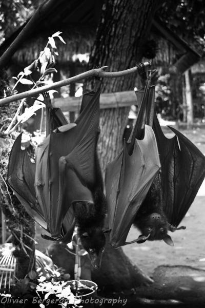 Bat - bali