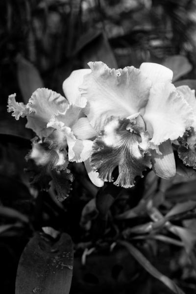cattleya orchid in garden - Thailand