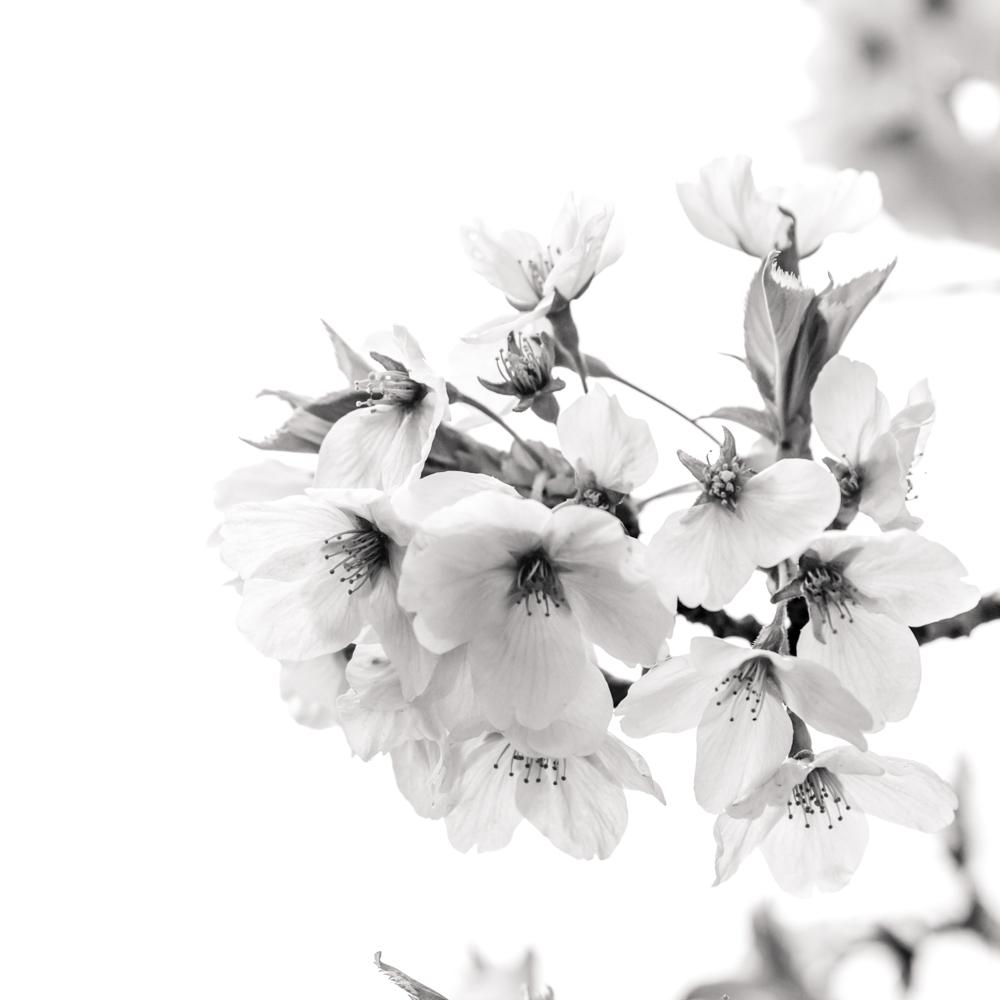 sakura - hirosaki - Japan