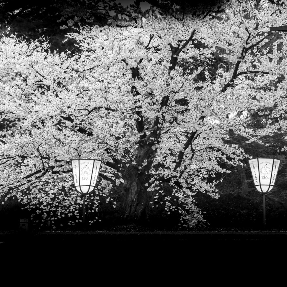 sakura tree - hirosaki